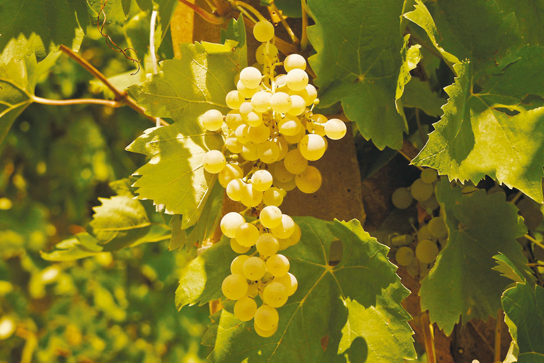 Vineyards and Prosecco Grapes